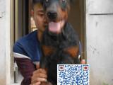出售高品质纯种美系 德系杜宾幼犬 质保三年