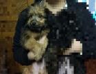 海珠区 3个月左右的贵宾串串狗狗幼犬 自家养 公