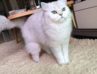 哪里有金吉拉猫卖 猫舍直销 健康活泼 包纯种 保养活