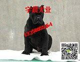 专业卡斯罗繁育犬舍 纯种卡斯罗犬多少钱 血统卡斯罗犬价格