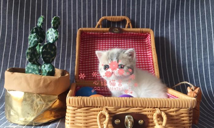 兰州哪里有卖加菲猫幼崽 兰州较便宜加菲猫多少钱一只保健康