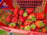 衡水草莓采摘-和美草莓采摘园