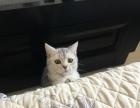 渐层英短猫找新家