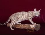 哪里有正規貓舍 豹貓養殖 豹貓幼貓轉讓