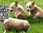 哪里出售柯基犬 纯种柯基犬多少钱