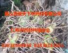 春天药材播种或林下套种旱半夏 三叉紫花白芨 华重楼