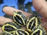养户低价出售1200只南石龟苗