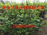 0.3厘米花椒苗批发价