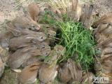 山東種兔養殖場種兔價格雜交野兔散養技術