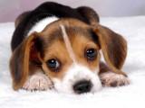 东营宠物狗 品相出众 纯种哈士奇出售 签纯种健康协议