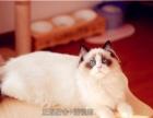 宠物布偶猫纯种双色蓝眼睛海豹色幼崽布偶猫