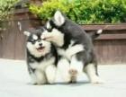 出售纯种阿拉斯加幼犬巨型雪橇犬阿拉斯加宠物狗
