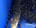 鳄鱼苗鳄鱼肉活体鳄鱼出售一条起发