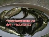 广东哪里供应的鱼苗好,肇庆淡水龙虾苗