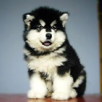 东莞哪里有阿拉斯加幼犬 城区哪里有卖阿拉斯加幼犬