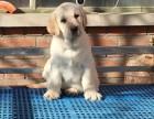 邢台哪里有拉布拉多犬出售 纯种的拉布拉多犬多少钱
