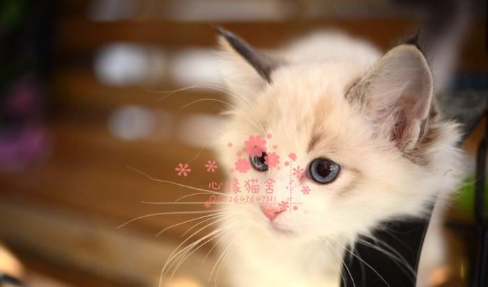 潍坊哪里卖布偶猫 布偶猫价格 布偶猫哪里有卖