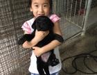 贵族犬业 专业繁殖双血统拉布拉多 保健康 高品质