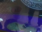出售黑帝王魟鱼一只