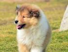 自家大狗生的一窝苏格兰牧羊犬可以来家里看大狗品相