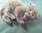 顶级纯血 蓝猫幼猫 公母都有 疫苗齐全 CFA认证 欢迎品鉴