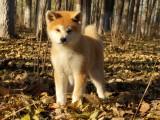 家养一窝纯种秋田犬可以签协议 来家里看狗父母