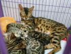 家养一窝纯种豹猫宝宝出售,疫苗驱虫都做好了