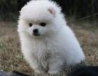 三亚纯种博美价格 三亚哪里能买到纯种博美犬
