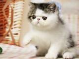 南宁哪里有波斯猫卖 纯种 无病无廯 协议质保