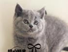 英短蓝猫宠物纯种英短幼猫活体英短蓝白纯种英短银渐层