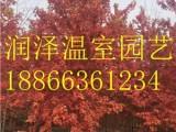 大果栎 多彩白栎 槲栎 红槲栎树苗 润泽温室园艺有限公司