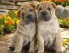 南京本地犬舍出售精品沙皮,可上门亲自挑选,多只可选择,品种多