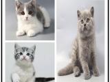 寵物貓 杭州出售各類名貓 特價直銷 健康質保 歡迎現場選購