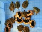 长期收购草龟,野生乌龟,黑颈乌龟,金钱乌龟