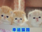 宠物猫加菲猫活体纯种宠物猫咪幼崽加菲