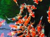 海淀出售各類魚苗種類