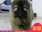哪里有卖高加索犬高加索犬多少钱 支持全国发货