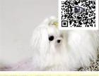 哪里出售马尔济斯犬 纯种马尔济斯多少钱