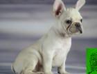 纯种斗牛犬繁殖基地出售英牛法牛宝宝 保证品质