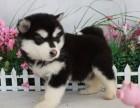 纯种幼犬阿拉斯加 大骨架雪橇犬购买签协议保健康
