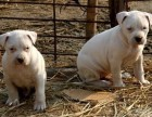 大骨架杜高,卡斯罗幼犬,半成犬,成犬