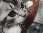 家养小猫,短毛猫,美国短毛猫