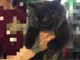 波斯猫,母猫,三个半月大