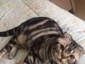 折耳美短银虎斑公猫配种