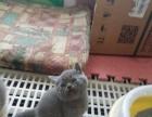 出售自家繁殖的蓝白英短小猫