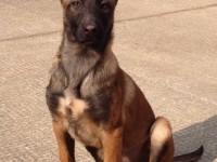 本犬舍常年出售高品寵物犬幼犬