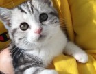 广州哪里有美短猫虎斑加白卖 纯血统 萌翻你的眼球 品质保障