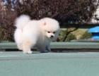 纯种哈多利球体博美 俊介犬 带证书签合同 免费送货