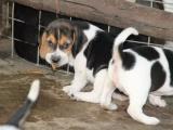 宜昌比格猎犬 宜昌哪里有犬舍卖比格 比格照片