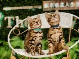 孟加拉豹猫坐标济南面向全国